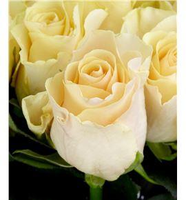 Rosa hol. pearl tacazzi 60 - RGRPEATAC