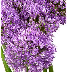Allium gladiator 80cm - ALLGLA