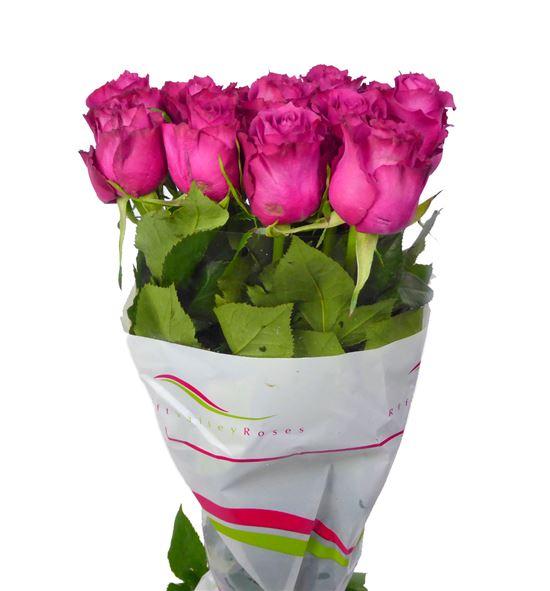 Rosa hol. blueberry 50 - RGRBLU