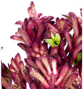 Anigoz amarilla rose 50 - AMAAMAROS