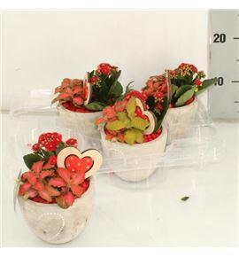 Pl. composicion planta interior 15cm x4 - COMPLAINT41315