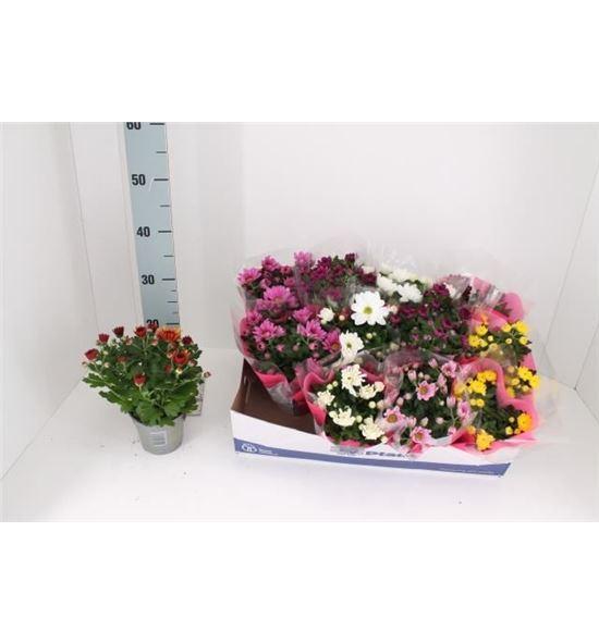 Pl. crisantemo mixto 6kl 25cm x12 - CRIMIX6121225