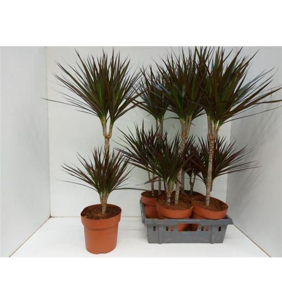 Pl. dracaena magenta stam 90cm x4 - DRAMAGSTA42190