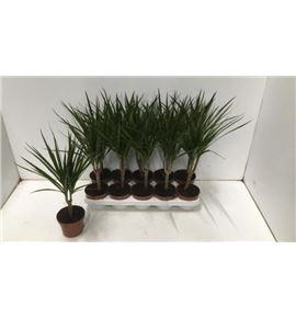 Pl. dracaena marginata 50cm x10 - DRAMAR101250