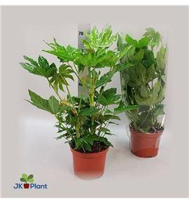 Pl. fatsia japonica 75cm x1 - FATJAP12175