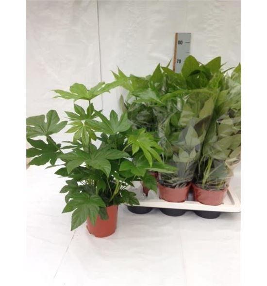 Pl. fatsia japonica 65cm x6 - FATJAP61765