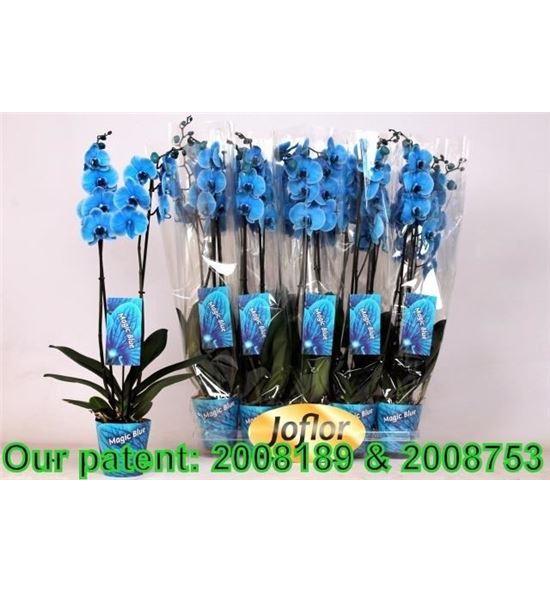Pl. phalaenopsis azul 2t 80cm x10 - PHAAZU1012802