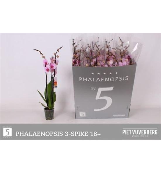 Pl. phalaenopsis washington 3t 70cm x12 - PHAWAS1212703