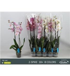 Pl. phalaenopsis mixta 8kl 2t 75cm x10 - PHAMIX81012752