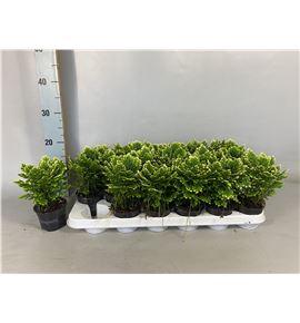 Pl. selaginella martensii jori 15cm x12 - SELMAR12915