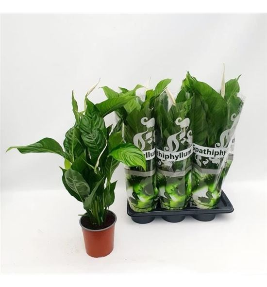 Pl. spathiphyllum sweet silvio 75cm x6 - SPASWESIL61775
