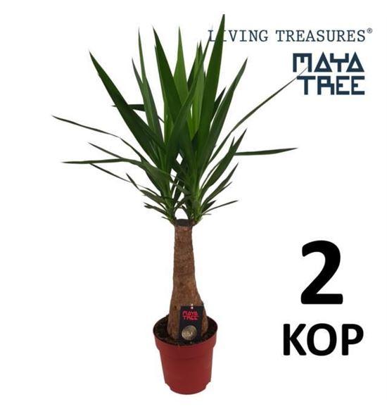 Pl. yucca enkele stam 100cm x1 - YUCENKSTA24100