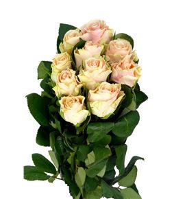 Rosa hol sweet tacazzi 50 - RGRSWETAC