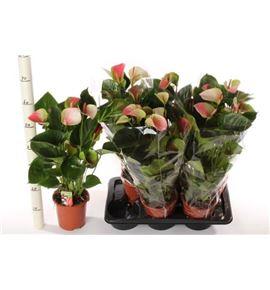 Pl. anthurium fantasy love x6 60cm - ANTFANLOV61760