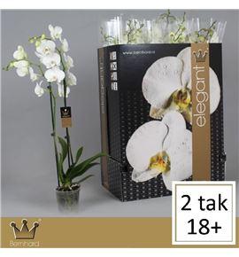 Pl. phalaenopsis white 2t 75cm x12 - PHAWHI1212752