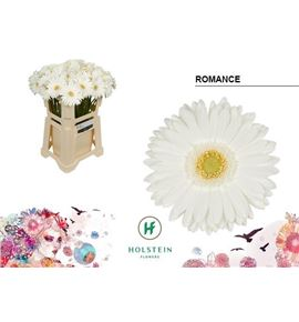Gerbera romance 50 x10 - GERROM5010