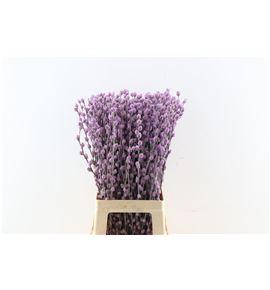 Salix wilgenkatjes lila claro 70 - SALWILLILCLA
