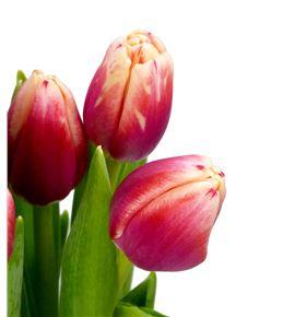 Tulipan christmas gift 36 - TULCHRGIF