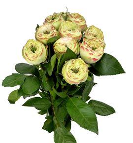 Rosa hol latin pompom 40 - RGRLATPOM