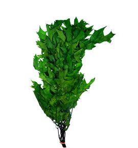 Querqus preservado verde - QUEPREVER
