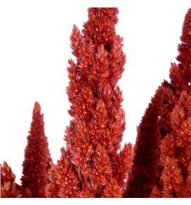 Amaranthus seco rosa - AMASECROS