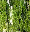 Esparraguera seca verde - ESPSECVER1