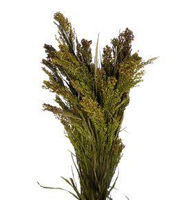 Panicum seco natural - PANSECNAT