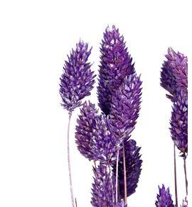 Phalaris lila - PHALIL