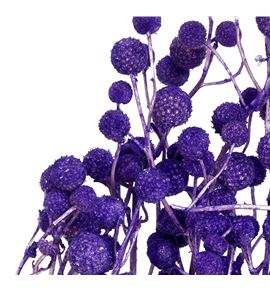Sago seco purple - SAGSECPUR