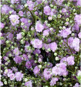 Gypsophila pink 75 - GYPPMIK
