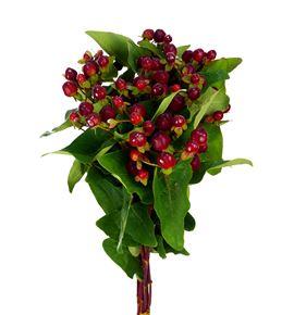 Hypericum magical cherry 50 - HYPMAGCHE