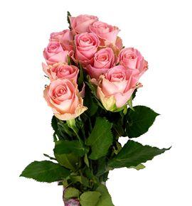 Rosa hol. hermosa 50 - RGRHER