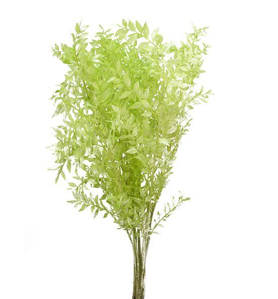 Ruscus fino preservado verde claro - RUSPREVERCLA