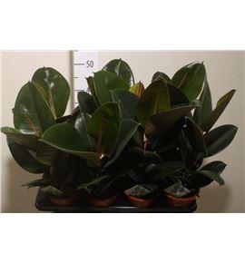 Pl. ficus elastica robusta 40cm x8 - FICELA81440