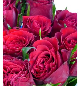 Rosa hol madam red 80 - RGRMADRED