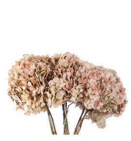 Hydrangea preservada cream/pink - HYDPRECREPIN