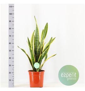 Pl. sanseveria laurentis 90cm x1 - SANFUT12490