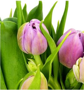 Tulipan double price 35 - TULDOUPRI