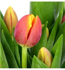 Tulipan replay 34 - TULREP