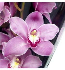 Cymbidium monique princess x6 - CYMBMONPRI1