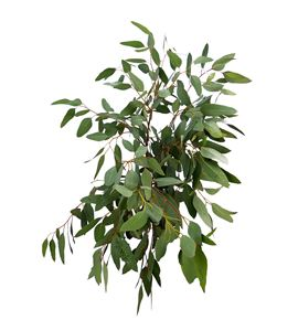 Eucaliptu polyanthemos 75 - EUCPOL