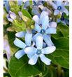 Oxypetalum pure blue 50 - OXYHEA2