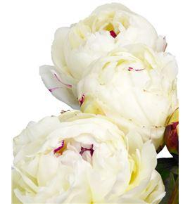 Paeonia festina maxima x5 55 - PAEFESMAX