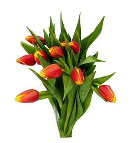 Tulipan denmark 40 - TULDEN