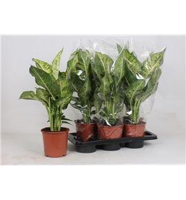 Pl. dieffenbachia compacta 50cm x6 - DIEMAR61760