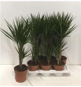 Pl. dracaena marginata 70cm x6 - DRAMAR61770