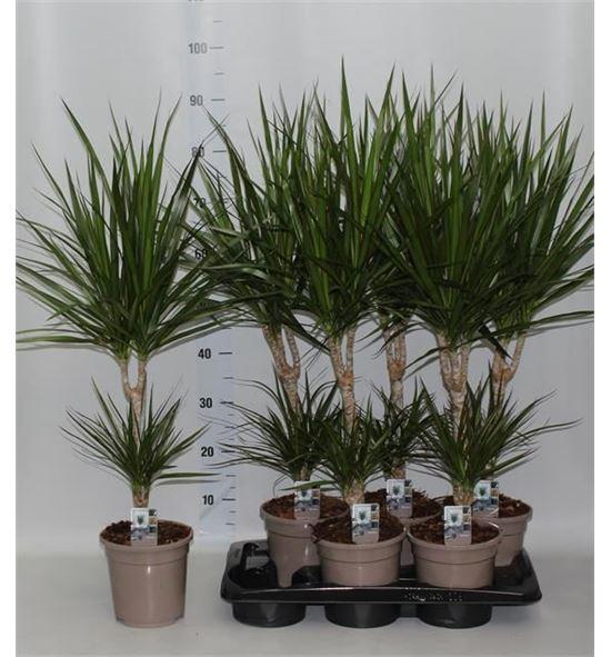Pl. dracaena marginata 85cm x6 - DRAMAR61785
