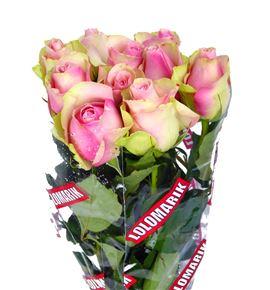 Rosa hol. belle rose 50 - RGRBELROS