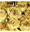 Rosa ramificada seca galina 60 - RTRSECGAL1