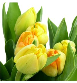 Tulipan red gold 35 - TULREDGOL